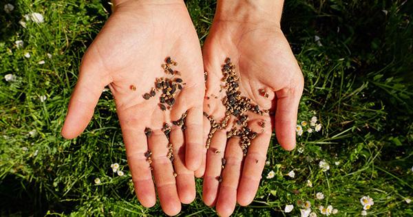 Bio-Saatgut in Hand gehalten. Blumenwiese im Hintergrund